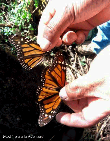 mariposa-hembra-y-macho